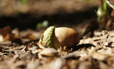 The Oak Sleeps in the Acorn